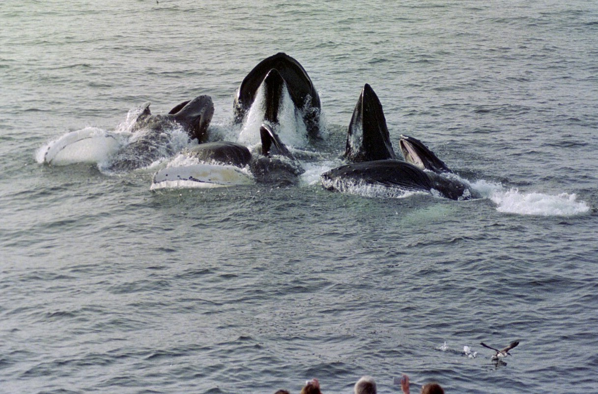 Multiple Whales With There Heads Above The Water With Bystanders